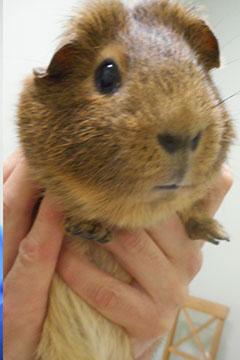 guinea pig exam, guinea pig held, holding guinea pig
