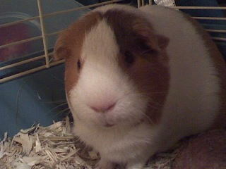 cavy, piggy, cute pig